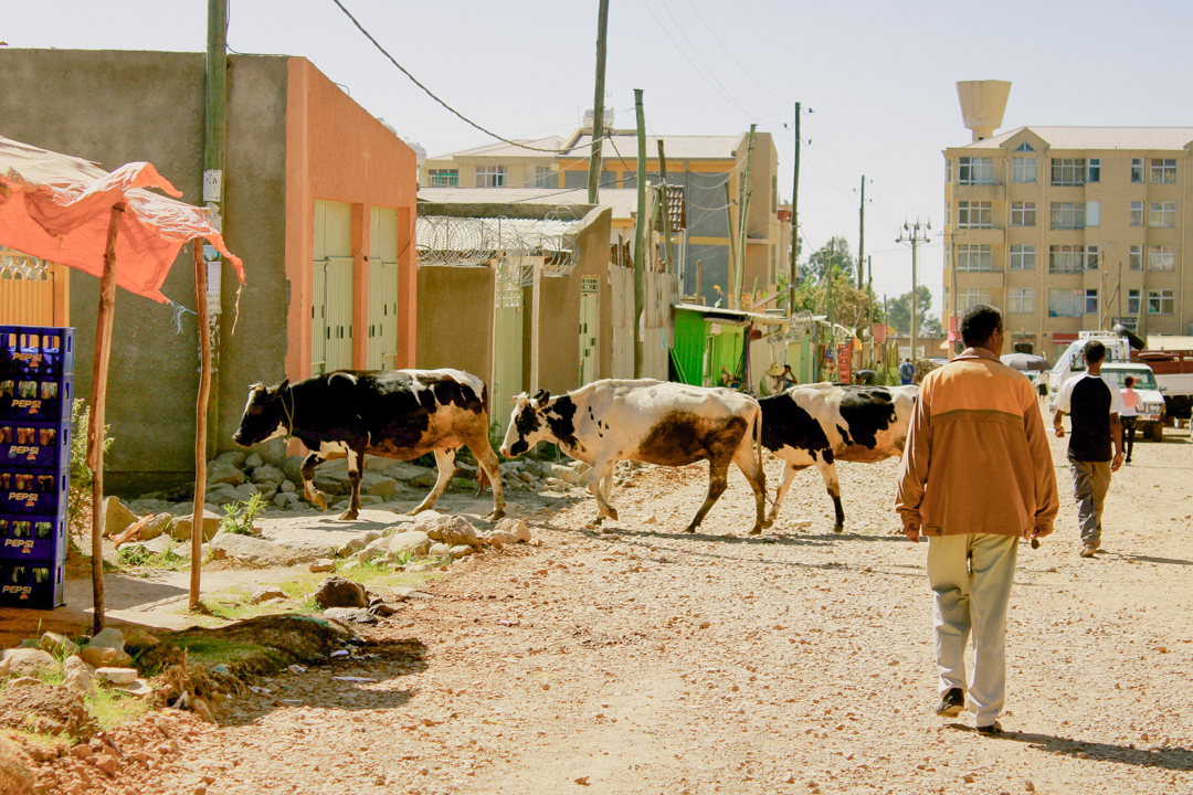 Cows in town