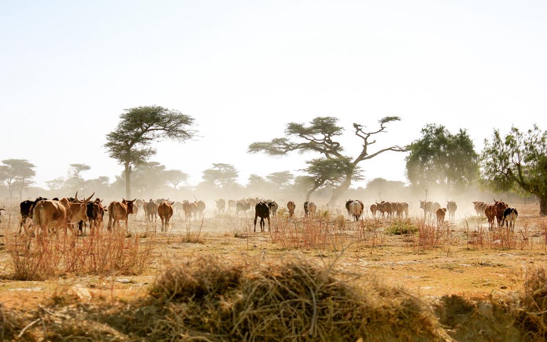 Ethiopian Cows